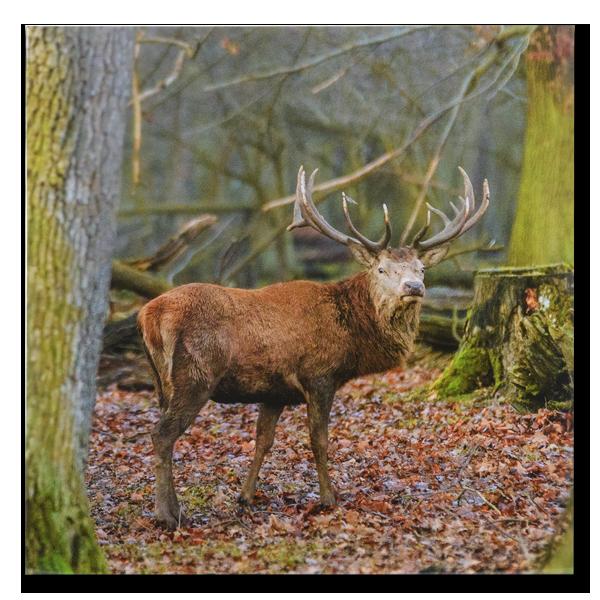 AKAH Grusskarten Tierruf Hirsch im Pareyshop