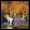 AKAH Grusskarten Tierruf Ente im Pareyshop